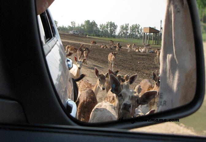 animals-in-mirror-deer