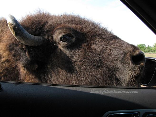 photo-buffalo