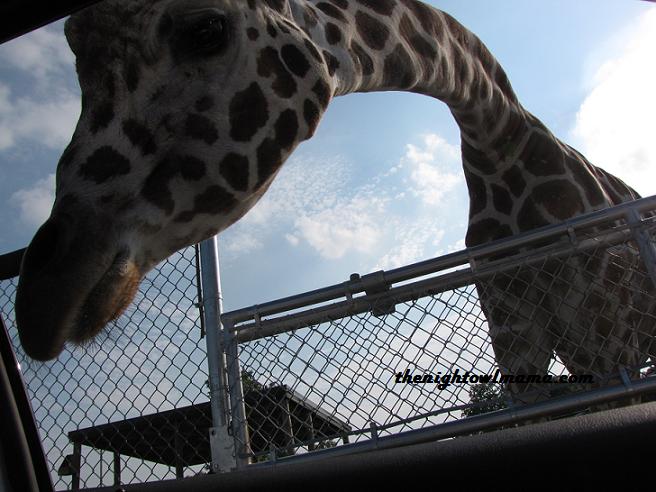 photo-giraffe