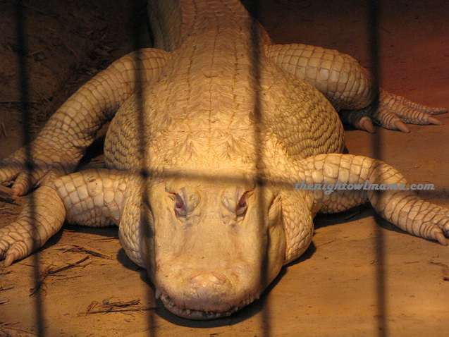 rare-white-alligator