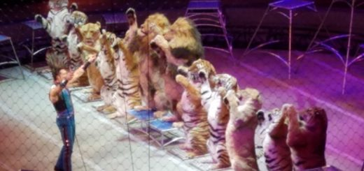 tigers-circus