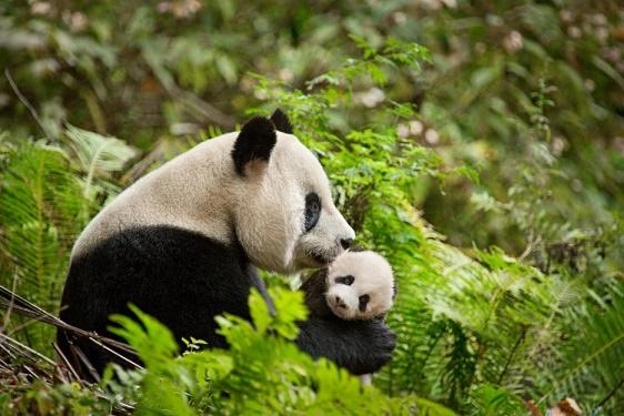 BornInChina-Panda-facts