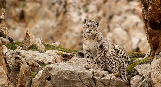BornInChina-leopards
